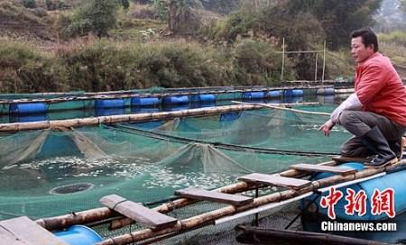 图为广西河池宜州市怀远镇罗山村养殖户唐桂雄在处理自家网箱里受镉