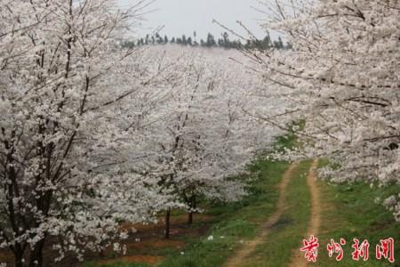 贵州平坝樱花旅游节启幕