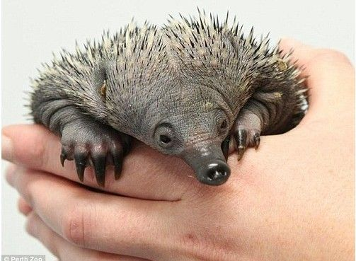 澳大利亚动物园降生针鼹宝宝 长相似小刺猬