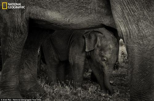 最好的庇护:来自班加罗尔的安娜提・饶拍到了小象躲在母亲身下的照片。一位网友在照片下评论称幼象微微笑着,因为它知道自己被爱着,被保护着。