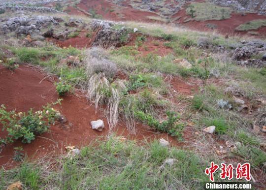 在石漠化地区,在石头缝长出金银花,是一件很不容易的事。图为威宁海拉乡金银花种植后。 资料图