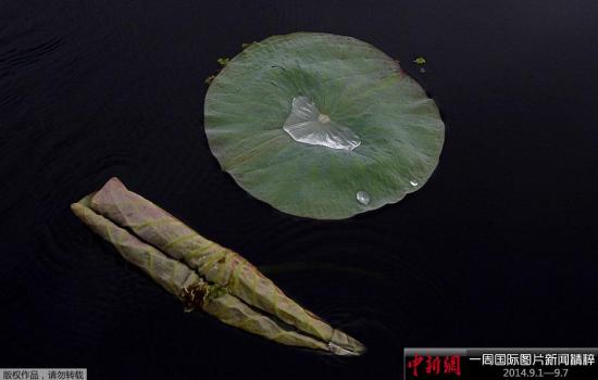 9月1日,印控克什米尔斯利那加,达尔湖里的荷叶。