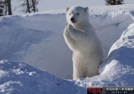据《每日邮报》2014年9月3日报道,加拿大马尼托巴,Wapusk国家公园内,一只北极熊冲着镜头一会儿作祈祷状,一会冲镜头挥手,超萌超可爱。(网页截图)