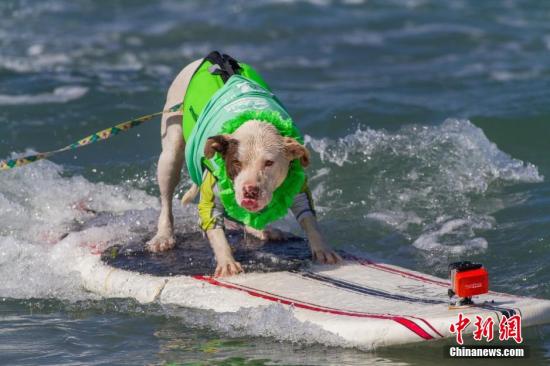 当地时间2014年9月9日,美国举办冲浪狗大赛,可爱萌宠携奇葩造型登场,大秀冲浪绝技。图片来源:Osports全体育图片社