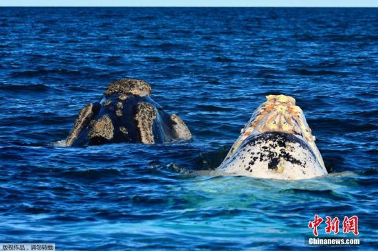 当地时间9月23日,在西班牙旅游的游客大饱眼福。他们乘船在大西洋海面上时,幸运地看到了南露脊鲸。南半球的露脊鲸跟北半球的露脊鲸非常相似,因此有南露脊鲸和北露脊鲸之称。南露脊鲸出现在南半球的所有海域,秋季时迁徙到北方可以避寒的海岸和海湾,最北可到达赤道海域。