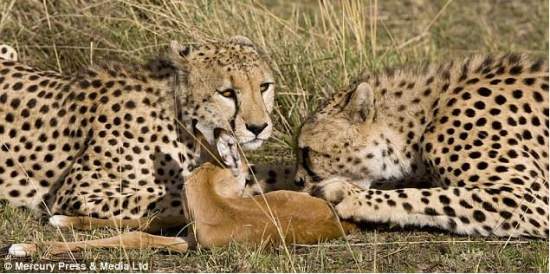 """据英国《每日邮报》12月22日报道,在南非的克鲁格国家公园,羚羊与豹子上演了一段别样的友谊,本应是""""猎手""""的猎豹却与""""猎物""""羚羊玩耍嬉戏,上演温馨和谐的一幕。南非的克鲁格国家公园护林员表示当他看到了这一幕时,感到了无比的震惊。(网页截图)"""