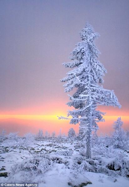 据英国《每日邮报》当地时间2014年12月23日报道,俄罗斯彼尔姆边疆区和斯维尔德洛夫斯克州,45岁的俄罗斯摄影师Sergey Makurin拍摄到一组像是科幻电影《纳尼亚传奇》中才会出现的场景,各种各样被冰冻的树,这些树被冻住后,呈现出不同,非常奇妙的样子。据悉,拍摄地位于俄罗斯西部地区,是一个人烟稀少,与世隔绝的地方,那里的温度可以低至零下35℃。(网页截图)