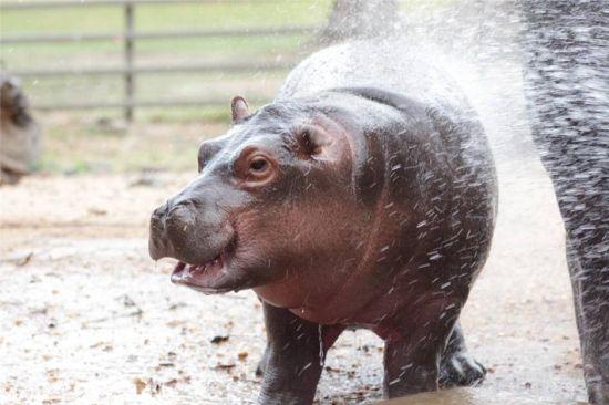 由于天气太热,动物园安排小河马早晨吃饭前要洗个澡降温.