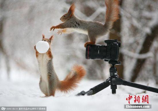 2015年2月27日消息,近日,俄罗斯沃罗涅日的摄影师Vadim Trunov在家乡的树林里捕捉到了有爱的瞬间:一对红松鼠在雪地上玩耍。它们像在扮演一对摄影师和模特,当一只松鼠举起雪球时,它的小伙伴站在照相机后面,似乎要把它拍下来,场面十分滑稽温馨。 图片来源:CFP视觉中国