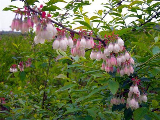 你见过蓝莓花吗?去麻江看看