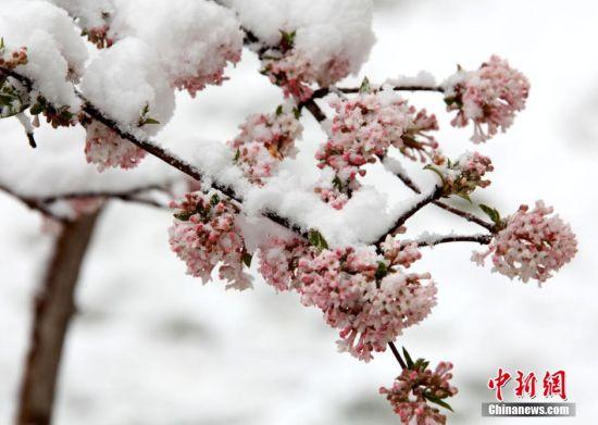 2015年4月4日,甘肃张掖普降大雪,气温下降到了零下2度,雪后的张掖城区银装素裹,各种树木像披上了迎春的彩衣,宛如美丽的童话世界,吸引清明小长假的市民走出家门踏雪赏景。图为瑞雪中含苞待放的碧桃。中新社发 闫自伟 摄 图片来源:CNSPHOTO
