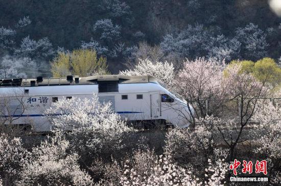 """4月6日,几十名北京市民来到位于北京居庸关的京张铁路,从山顶拍摄和谐号列车经过花海的景观。该列火车被民众称为""""开往春天的列车""""。中新社发 廖攀 摄"""
