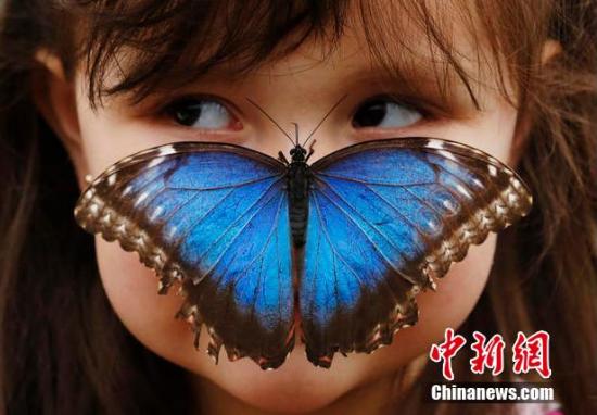 """""""奇异的蝴蝶""""展览在英国自然历史博物馆举行。在展览温室中,参观者可以和美丽罕见的热带蝴蝶亲密接触。"""