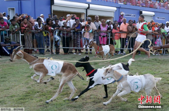 """图为参加参赛的""""山羊选手""""们。"""