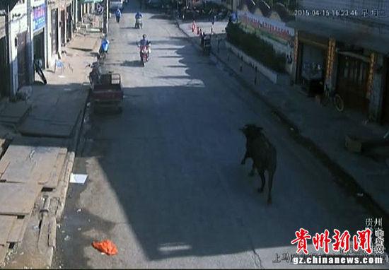 惠水 校园/疯牛在路上狂奔。