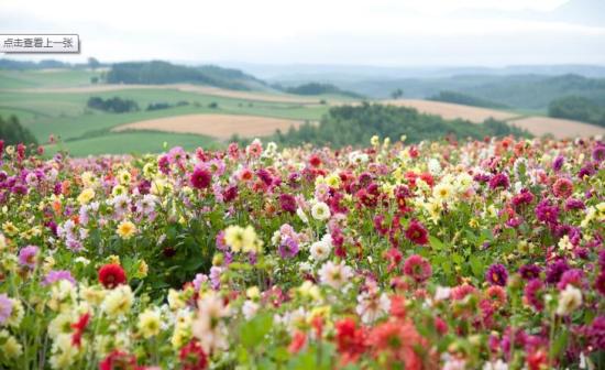 此外,除了鲁冰花,由于得天独厚的气候条件,这里还开放着诸如薰衣草、郁金香等鲜花,远远望去更是美丽无比。