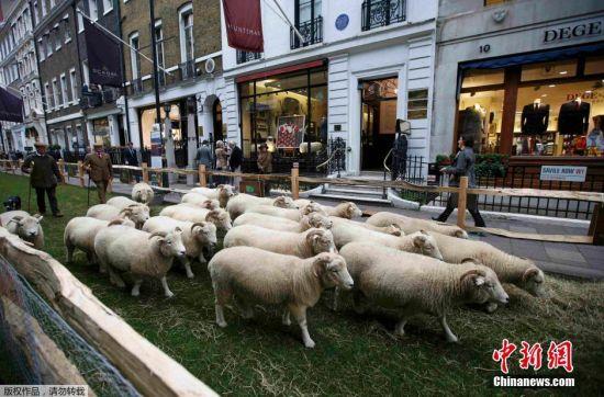 当地时间2015年10月5日,英国伦敦,英国国家羊毛周开幕,牧羊人赶着绵羊来到萨维尔街街头。