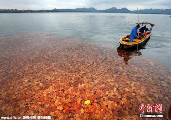 杭州西湖,岸边树木掉落的金黄树叶飘满湖面,在清澈湖水的映衬之下美到窒息。 图片来源:东方IC 版权作品 请勿转载