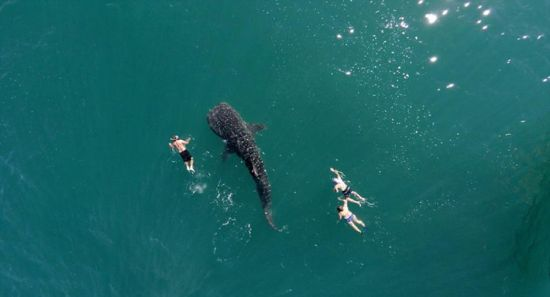 近期,一个航拍照片分享活动在网上流行。英媒12月7日刊登了这项活动中最精彩的作品,展示了网友们拍摄的全球各地最壮观景象。图为网友抓拍几名游泳者同白鲸共泳的罕见景象。 图片来源:国际在线