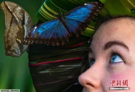 当地时间1月15日,位于英国伦敦的英国皇家园艺协会威斯利花园举办蝴蝶展,各色蝴蝶被美女吸引。