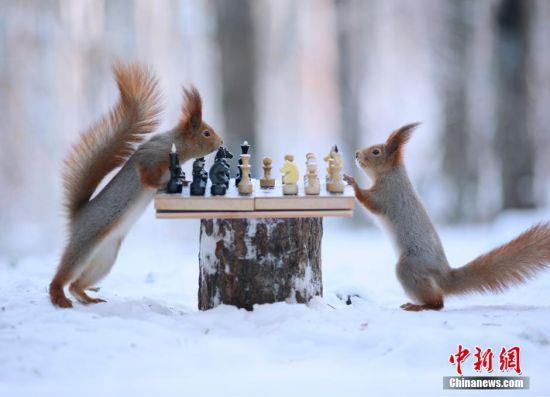 1月22日消息(具体拍摄时间不详),俄罗斯沃罗涅日州,下过雪的森林美丽静谧,两只小松鼠和几只山雀却和摄像机、话筒玩得不亦乐乎,两只松鼠甚至下起了象棋,画面十分有趣。俄罗斯摄影师Vadim Trunov捕捉下了这可爱的一幕。图片来源:视觉中国