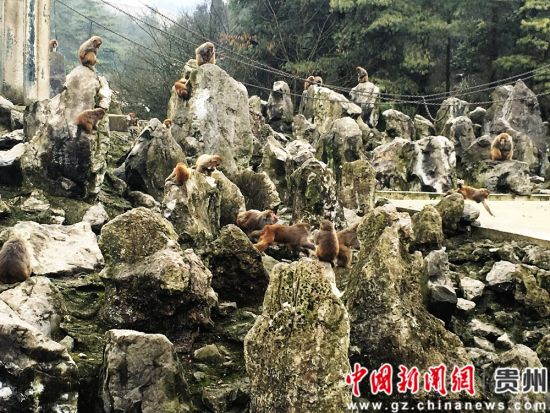 """贵阳森林野生动物园给""""猴族""""发""""新年礼包"""""""