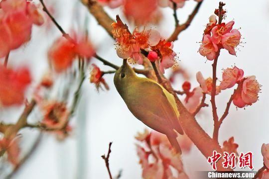 """叉尾太阳鸟有""""亚洲蜂鸟""""之称 李风 摄"""