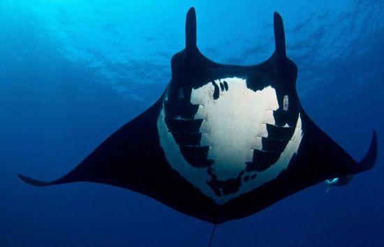据英国《每日邮报》2月15日报道,巴西41岁水下摄影师爱德华多・皮涅罗近日在墨西哥雷维利亚希赫多群岛(Revillagigedo Islands)潜水时抓拍到了一只蝠鲼,背部有黑白相间的奇特图案,酷似人类头骨。 图片来源:国际在线