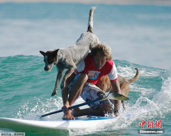 当地时间2016年2月18日,澳大利亚悉尼,前冲浪冠军Chris de Aboitiz利用冲浪规则训练狗狗,帮助它们与主任建立健康的关系。