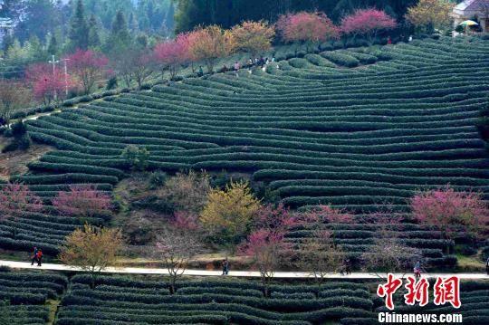 """2月18日,""""大陆阿里山""""福建省漳平市永福镇各色各样次第开放的樱花在绿色茶园的映衬下,显得格外美丽。 张斌 摄"""