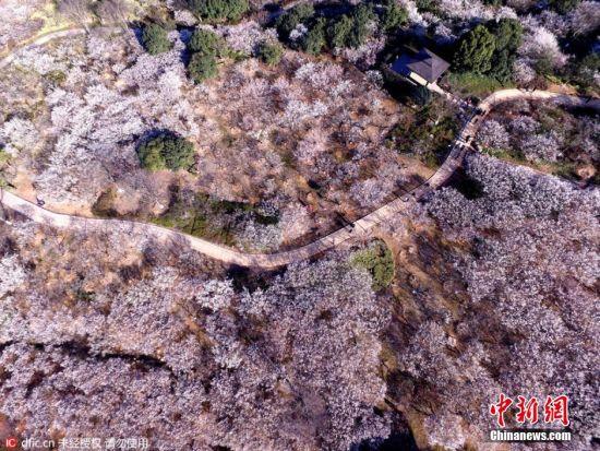 """2016年2月15日,浙江杭州,余杭超山风景区的5万多株梅花已进入盛花期,开花率达到90%。尤其是超山东园,白梅平铺散玉,十余里遥天映白,如飞雪漫空,呈现出""""十里梅花香雪海""""的美景。每年此时到3月上旬,都是超山的最佳赏梅期。由于地处郊区,景区里游客三三两两并不拥挤,置身花海,漫步欣赏,随处都是美景。图片来源:东方IC 版权作品 请勿转载"""