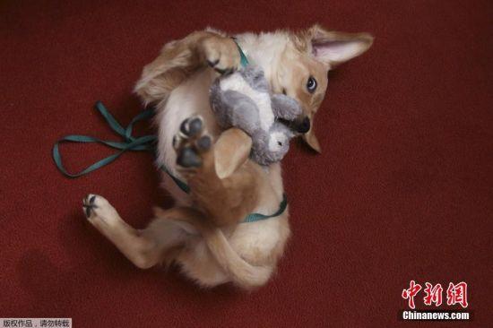 当地时间2月22日,美国犬舍俱乐部举行全美最受欢迎犬种评选活动。拉布拉多猎犬在本次评选中名列前茅,连续25年蝉联全美最受欢迎犬种。