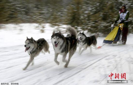 当地时间2月22日,俄罗斯符拉迪沃斯托克举办狗狗拉雪橇比赛,呆萌哈士奇展现实力。