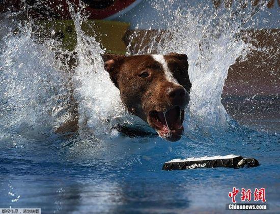 """当地时间2016年2月26日,美国加州,贝克斯菲尔德举行宠物狗""""跳远""""大赛,宠物的主人记录动物们起跳后到入水前的距离。"""
