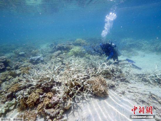 """当地时间3月1日,位于澳大利亚昆士兰蜥蜴岛的研究站发布了大堡礁珊瑚加速白化的照片。据该研究站负责人称,所谓""""白化""""是由于气候变暖,给珊瑚虫提供营养的海藻死亡,而造成珊瑚群失去色彩而变白的现象。"""