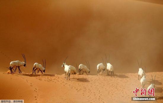 当地时间2016年3月1日,阿联酋Umm Al-Zamool,羚羊在阿拉伯羚羊保护区。阿拉伯羚羊保护区位于阿曼的中东沙漠及高山地区,占地约8900平方公里,目前生活着约155只阿拉伯大羚羊。