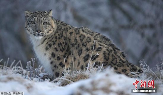 """3月3日是第三届世界野生动植物保护日,今年的宣传主题为""""保护濒危野生动植物,维护生物多样性""""。下面我们就来看看那些濒临灭绝的美丽生灵们。图为雪豹。"""