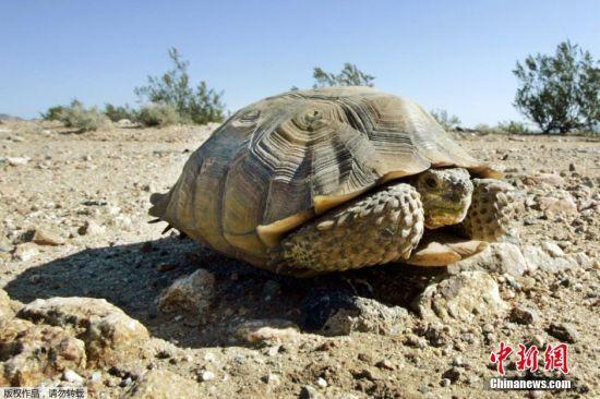 沙漠陆龟属于濒危物种,野生沙漠地鼠龟存活率不高,要在短时间恢复原有数量几乎不可能,依估计需50年后或更久的时间数量才能到达平衡。