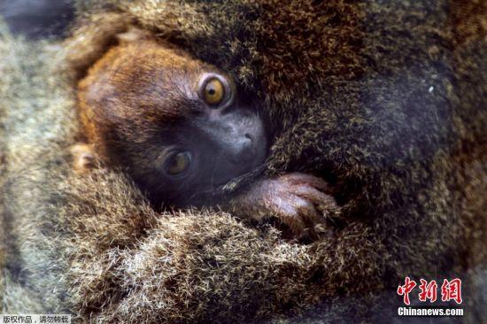 阔鼻驯狐猴,分布于马达加斯加岛,是马达加斯加地方性生物。目前属于极危物种。