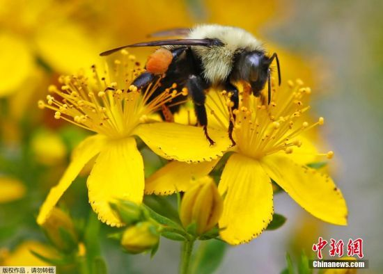 富兰克林大黄蜂是大黄蜂中的稀有品种,很少有人真正见过这种蜜蜂,自2006年一项调查显示,富兰克林大黄蜂只在美国的俄勒冈州和加利福尼亚州之间的一个非常小的范围内生存,实际上它们是世界上生存空间最小的大黄蜂,它们近乎已经灭绝。