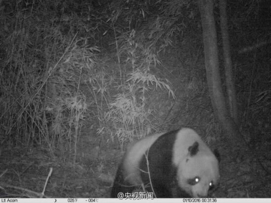 近日,陕西省宁陕县皇冠山保护区两处位点拍摄到了野生大熊猫。从体型上认定,其中一只是亚成体大熊猫,体重在60公斤左右,身体健壮,毛色干净整洁。 图片来源:央视新闻官微