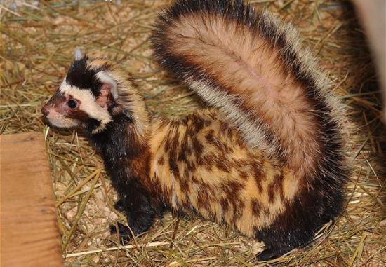 虎鼬体躯细长均匀,耳椭圆形,四肢短粗,体背黄白,散布许多褐色或粉棕色斑纹。虎鼬已列入《世界自然保护联盟》(IUCN) 2008年濒危物种红色名录。