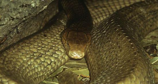 眼镜王蛇,又称山万蛇、过山峰。它的主要食物就是与之相近的同类──其他蛇类,毒性极强。眼镜王蛇在世界自然保护联盟红色名单上,属于易危物种。