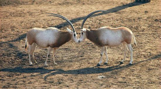 弯角剑羚,又名白长角羚及白剑羚,以前生活于整个北非地区。现在一般认为弯角剑羚已经在野外灭绝,但有报道称小部份仍在尼日尔中部及乍得生存。