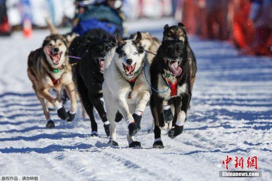 当地时间3月6日,爱迪塔罗德狗拉雪橇大赛在阿拉斯加州开战。据悉,本次赛程长达1000英里(约1609公里),来自世界各地的著名狗拉雪橇队参赛。