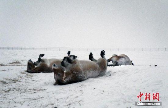 俄罗斯的冬天寒风凛冽,非常人能忍受,但对于珍稀动物普氏野马来说,冬天的俄罗斯却是天堂。今年冬天,6匹在法国出生的普氏野马就在冰天雪地的俄罗斯奥伦堡保护区过了冬。