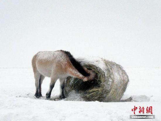 """普氏野马保育专家表示,冬天下大雪,这对人类来说,既寒冷又可能致命,但对于普氏野马来说,天冷才是""""其乐无穷""""。它们不怕风、不怕雪、不怕冷,还喜欢在雪地里打滚。如果食物充足,这种天气就""""根本不是事儿""""。"""
