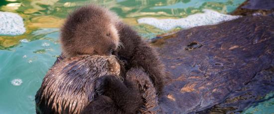 """一只海獭妈妈带着自己刚刚出生不久的小海獭,""""溜进""""美国加州蒙特利湾水族馆,在这片与大海相通的宁静水域里享受安详的亲子时光。(图片来源:蒙特利湾水族馆)"""