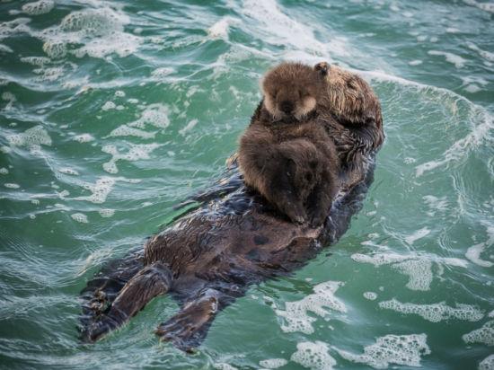 """去年12月,这只野生雌海獭主动""""入住""""水族馆,并产下一只健康可爱的幼崽。(图片来源:蒙特利湾水族馆)"""