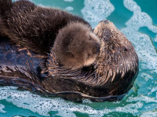 海獭宝宝降生后,这对母子就成了水族馆的明星。不过去年,在休整完毕后,它们又返回了大海。(图片来源:蒙特利湾水族馆)